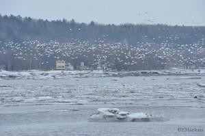 Snow Geese on the St. Lawrence River, Quebec