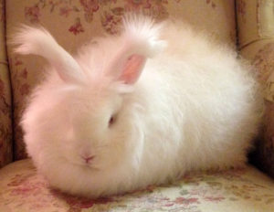 angora-rabbit
